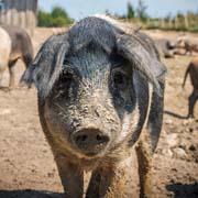 Über das Mangalitza Schwein