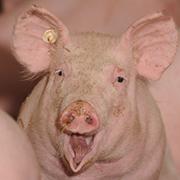 Ludwigs Schweinefleischkompetenz