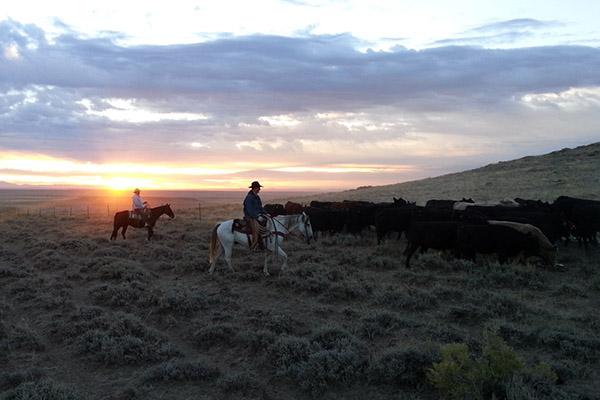 Black Angus Rinder auf mit Cowboys auf der Prärie