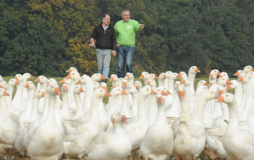 Bernd Petersen mit den frei lebenden Gaensen