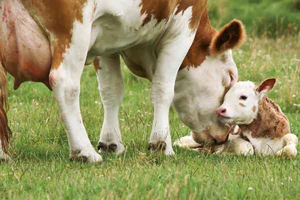 Mutterkuh mit Kalb auf Weide