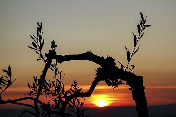 Olivenbaum im Sonnenuntergang