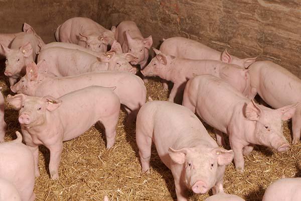 Schweinezucht bei Landwirt Dieter Mueller